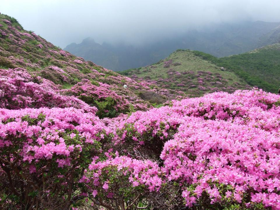 Misty spring mountain with azelea flowers and bushes