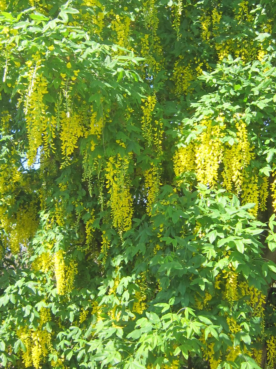 flowers,tree,yellow,weeping