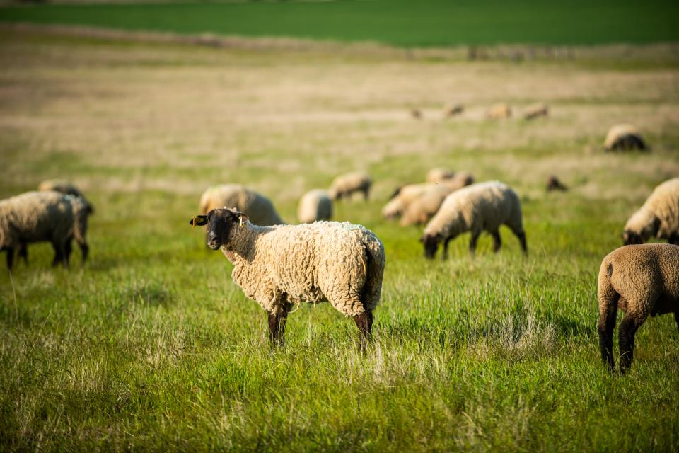 Sheep in a field in the state of Washington